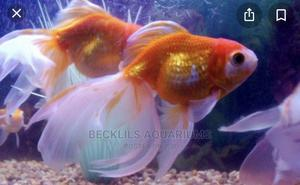 Gold Fishes and Koi | Fish for sale in Greater Accra, East Legon