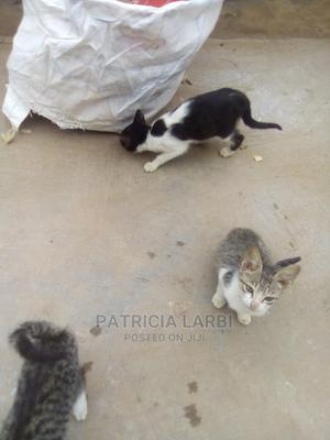 3-6 Month Male Mixed Breed Mongrel (No Breed) | Cats & Kittens for sale in Brong Ahafo, Sunyani Municipal