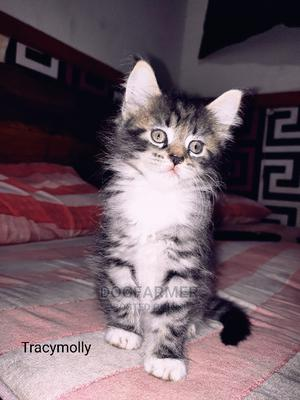 1-3 Month Female Purebred Maine Coon   Cats & Kittens for sale in Greater Accra, Airport Residential Area