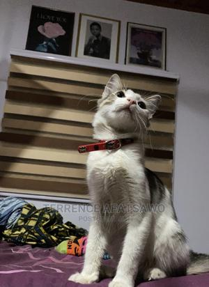 1+ Year Male Mixed Breed American Wirehair   Cats & Kittens for sale in Greater Accra, Airport Residential Area