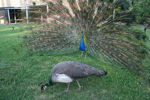 Attractive Peacocks Available   Birds for sale in Greater Accra, Ga West Municipal