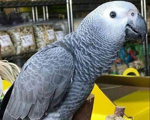 Young African Grey Parrots | Birds for sale in Ashanti, Kumasi Metropolitan