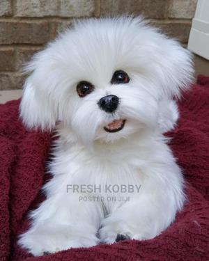 0-1 Month Female Purebred Maltese | Dogs & Puppies for sale in Greater Accra, Dansoman