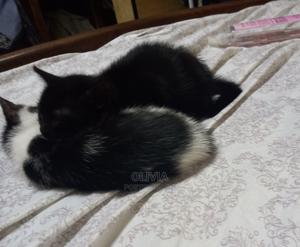 1-3 Month Male Purebred Cat   Cats & Kittens for sale in Greater Accra, Dzorwulu