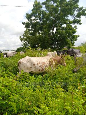 Cow for Selling   Livestock & Poultry for sale in Northern Region, Gushegu