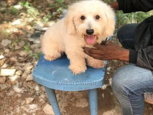 1+ Year Male Purebred Maltipoo | Dogs & Puppies for sale in Greater Accra, Sowutwuom