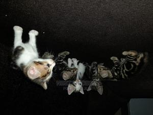 1-3 Month Female Mixed Breed Maine Coon   Cats & Kittens for sale in Greater Accra, Tema Metropolitan
