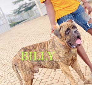 6-12 Month Male Purebred Mastiff   Dogs & Puppies for sale in Central Region, Cape Coast Metropolitan