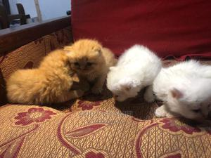 1-3 Month Female Purebred Persian   Cats & Kittens for sale in Greater Accra, South La