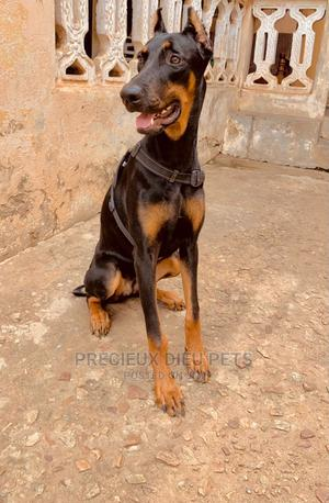 6-12 Month Female Purebred Doberman Pinscher | Dogs & Puppies for sale in Greater Accra, Labadi