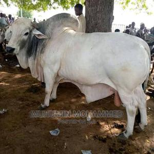 Cow for Sell | Livestock & Poultry for sale in Northern Region, Saboba
