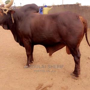 Cow for Sale for Cool Price | Livestock & Poultry for sale in Northern Region, Kpandai