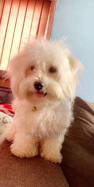 1+ Year Male Purebred Maltese | Dogs & Puppies for sale in Greater Accra, Anyaa