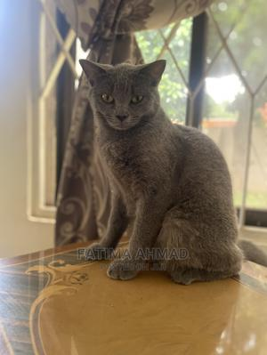 1+ Year Female Mixed Breed British Shorthair   Cats & Kittens for sale in Greater Accra, Achimota