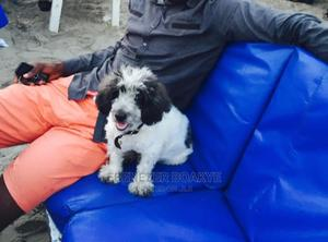 1+ Year Male Purebred Poodle | Dogs & Puppies for sale in Greater Accra, Achimota