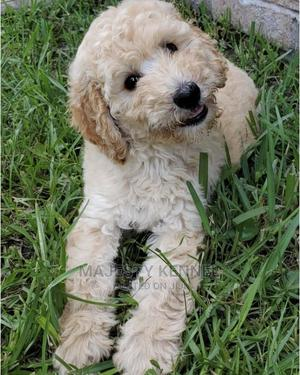 1-3 Month Female Purebred Poodle   Dogs & Puppies for sale in Greater Accra, Spintex