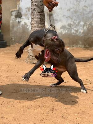 1+ Year Female Purebred American Pit Bull Terrier | Dogs & Puppies for sale in Greater Accra, Nungua