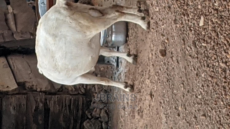 Archive: Giant Female Goat