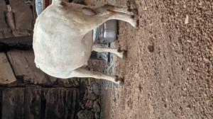 Giant Female Goat | Livestock & Poultry for sale in Brong Ahafo, Berekum Municipal