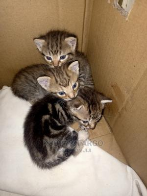 1-3 Month Female Mixed Breed American Shorthair   Cats & Kittens for sale in Greater Accra, Sowutwuom