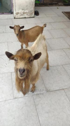 Healthy Goats   Livestock & Poultry for sale in Greater Accra, Dansoman
