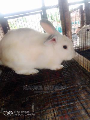 Rabbits (Bucks) For Sale At Boss Pets. Rabbit   Livestock & Poultry for sale in Ashanti, Kumasi Metropolitan