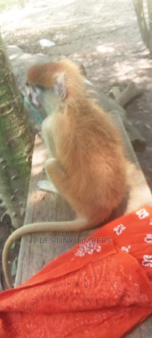 Local Red Monkey | Other Animals for sale in Greater Accra, Accra Metropolitan