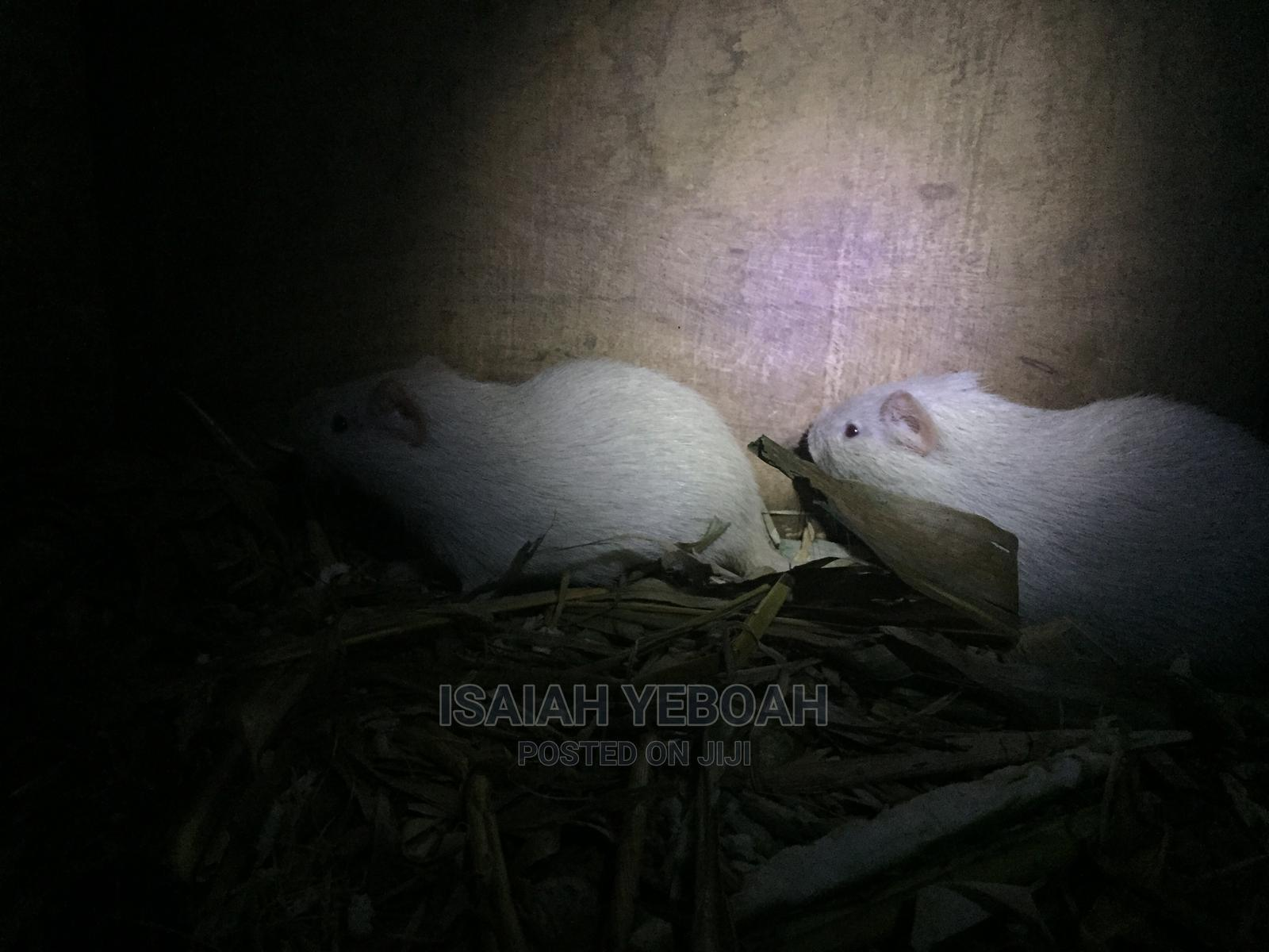 Archive: 11weeks Old Albino Grasscutter