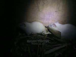 11weeks Old Albino Grasscutter | Livestock & Poultry for sale in Greater Accra, Spintex