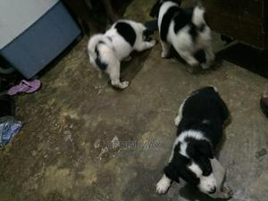 0-1 Month Female Mixed Breed Mongrel (No Breed)   Dogs & Puppies for sale in Greater Accra, Lapaz