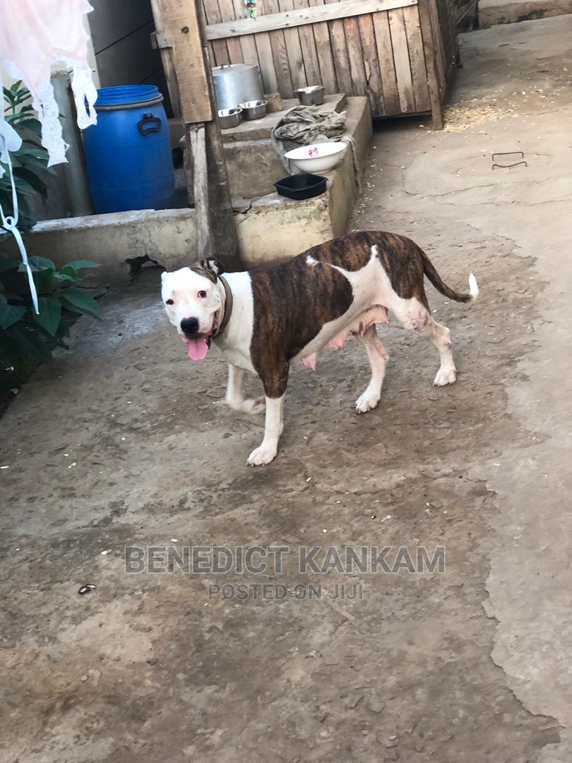 1+ Year Female Purebred American Pit Bull Terrier | Dogs & Puppies for sale in Teshie, Greater Accra, Ghana