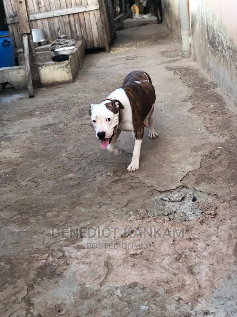 1+ Year Female Purebred American Pit Bull Terrier