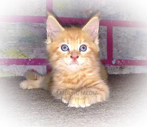 1-3 Month Female Purebred Maine Coon   Cats & Kittens for sale in Greater Accra, Achimota