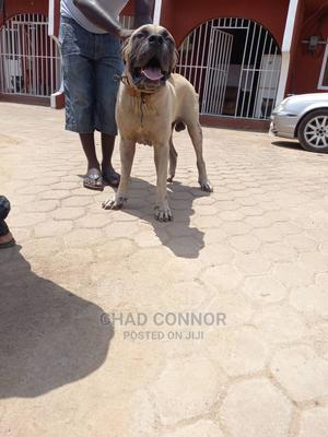 1+ Year Male Purebred Boerboel | Dogs & Puppies for sale in Greater Accra, Anyaa