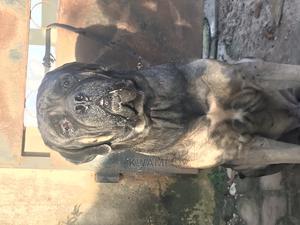 1+ Year Male Purebred Boerboel | Dogs & Puppies for sale in Ashanti, Kumasi Metropolitan