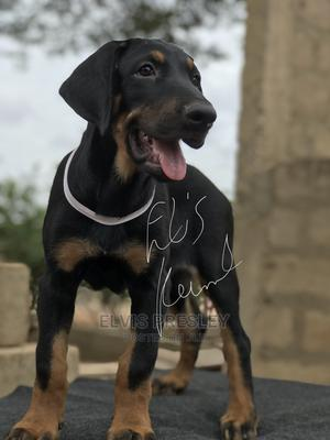 1-3 Month Male Purebred Doberman Pinscher | Dogs & Puppies for sale in Greater Accra, Ablekuma