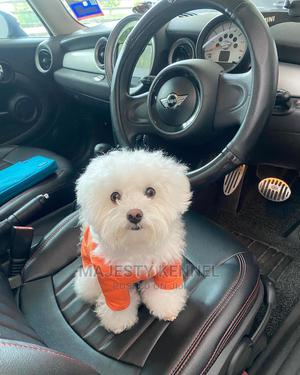 1-3 Month Female Purebred Maltese | Dogs & Puppies for sale in Greater Accra, Bubuashie