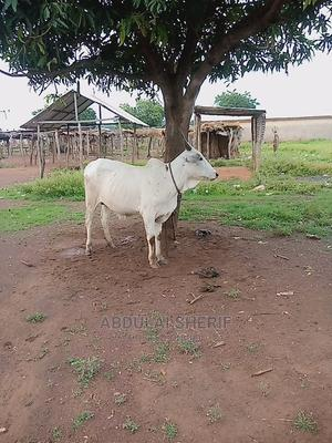 Cow for Sale for Cool Price   Livestock & Poultry for sale in Northern Region, Kpandai
