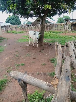 Cow for Sale With Cool Price   Livestock & Poultry for sale in Northern Region, Kpandai