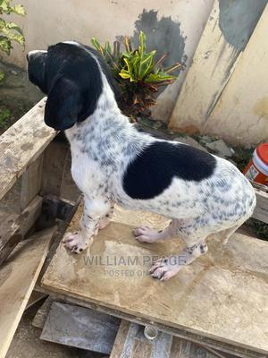 1-3 Month Female Mixed Breed Doberman Pinscher | Dogs & Puppies for sale in Greater Accra, Nungua