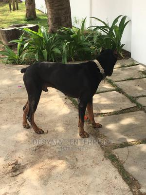 1+ Year Male Purebred Doberman Pinscher | Dogs & Puppies for sale in Greater Accra, Accra Metropolitan