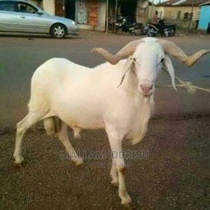 Is It a Goat You Want Sheep and Cow Contact   Livestock & Poultry for sale in Northern Region, Gushegu