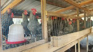 Male C0ckerels At Affordable Price   Livestock & Poultry for sale in Central Region, Komenda/Edina/Eguafo/Abirem Municipal