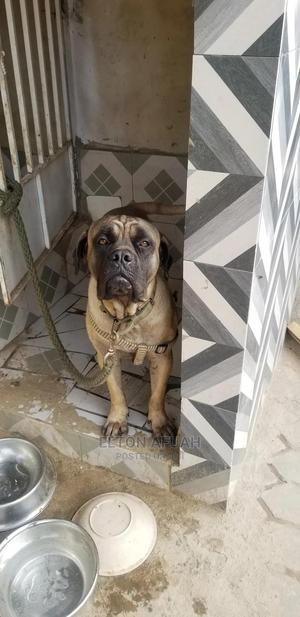 1+ Year Male Purebred Boerboel | Dogs & Puppies for sale in Greater Accra, Tema Metropolitan
