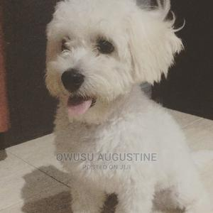 6-12 Month Male Purebred Maltese | Dogs & Puppies for sale in Greater Accra, Cantonments