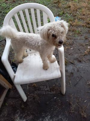 1+ Year Male Mixed Breed Maltese | Dogs & Puppies for sale in Greater Accra, Accra Metropolitan