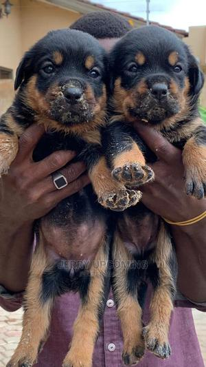 1-3 Month Female Purebred Rottweiler | Dogs & Puppies for sale in Greater Accra, Adenta