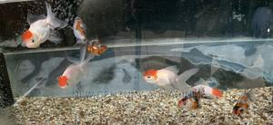 Fancy Tailed Goldfish | Fish for sale in Greater Accra, East Legon