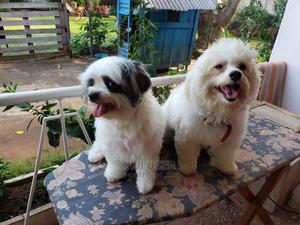 1+ Year Female Purebred Poodle | Dogs & Puppies for sale in Greater Accra, Accra Metropolitan