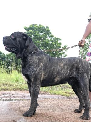 1+ Year Male Purebred Boerboel | Dogs & Puppies for sale in Greater Accra, Adenta